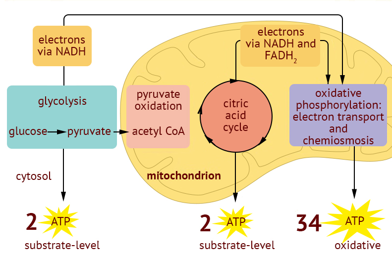Cellular Respiration A-Level Biology Revision Notes