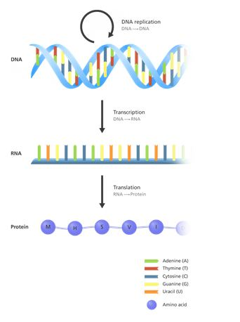 DNA And The Central Dogma A-Level Biology Revision Notes