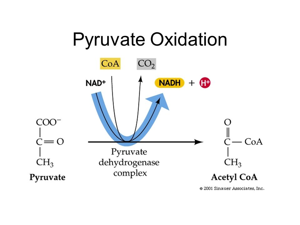 Pryruvate Oxidation And The Krebs Cycle A-Level Biology Revision Notes