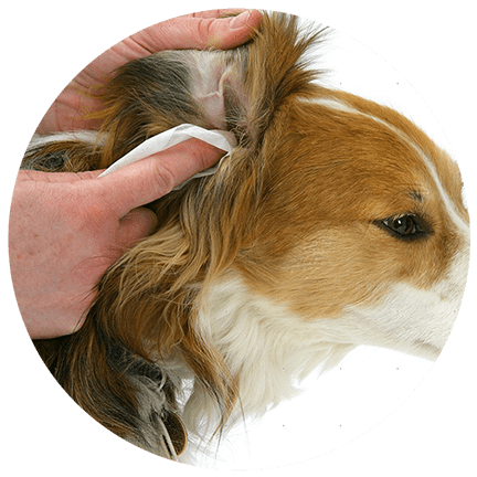 Grooming alex bell veterinary clinic ear cleaning solutioingenieria Image collections
