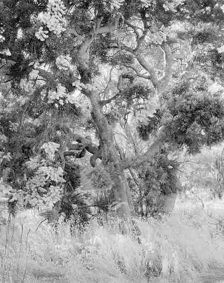 Nuytsia floribunda Christmas Tree 20-15-03