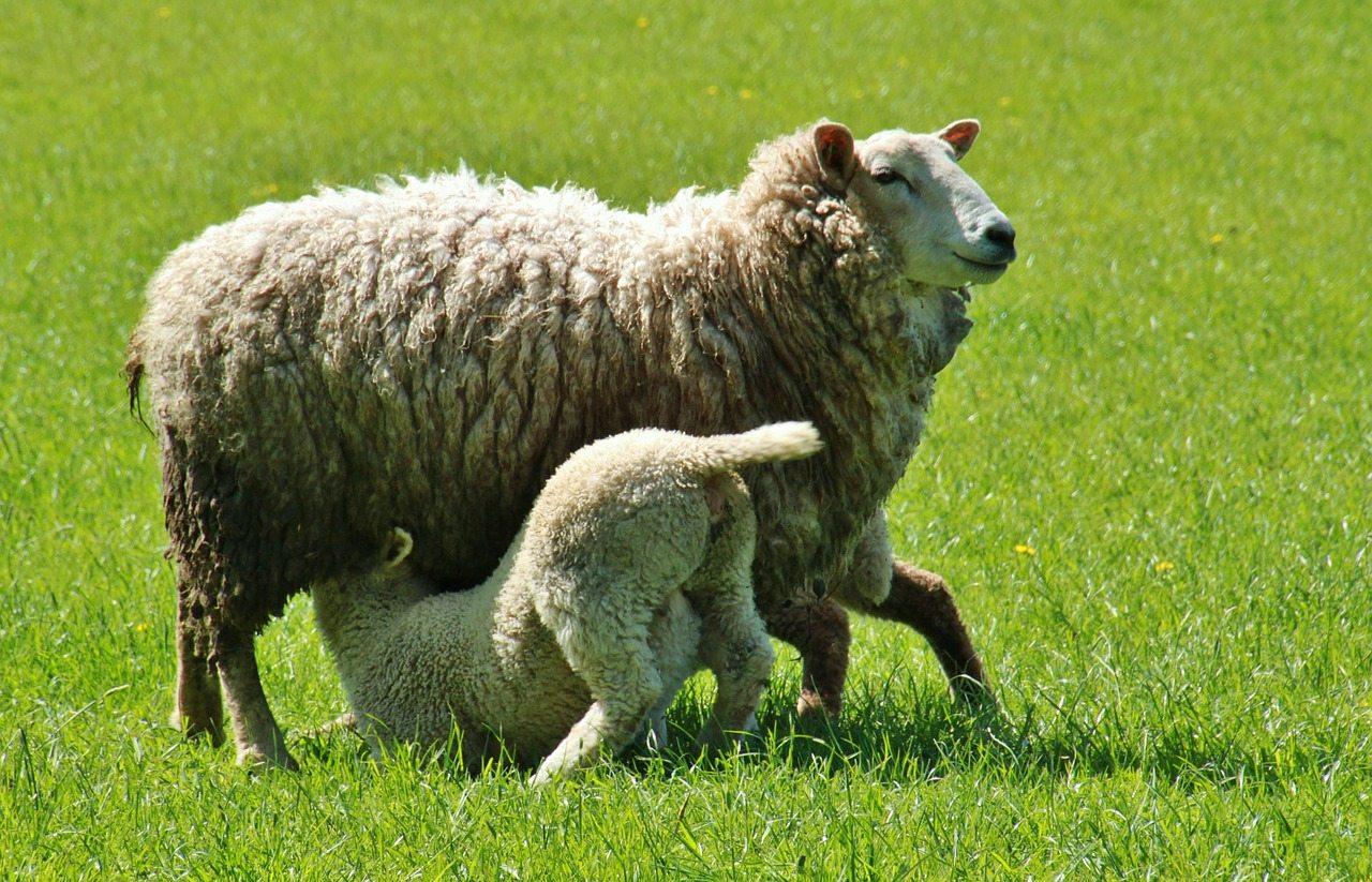 2219_11455_sheep-338225_1280