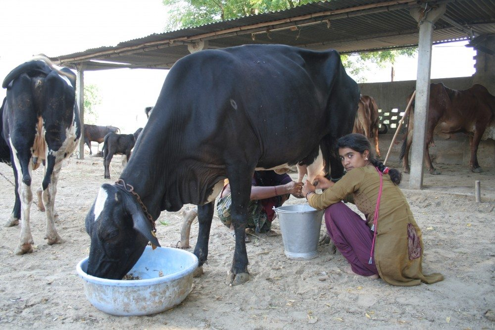 2509_12725_Cow-milking-India-e1479457551327