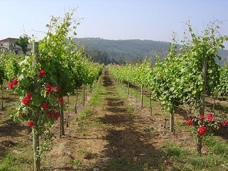 Região dos Vinhos Verdes 450