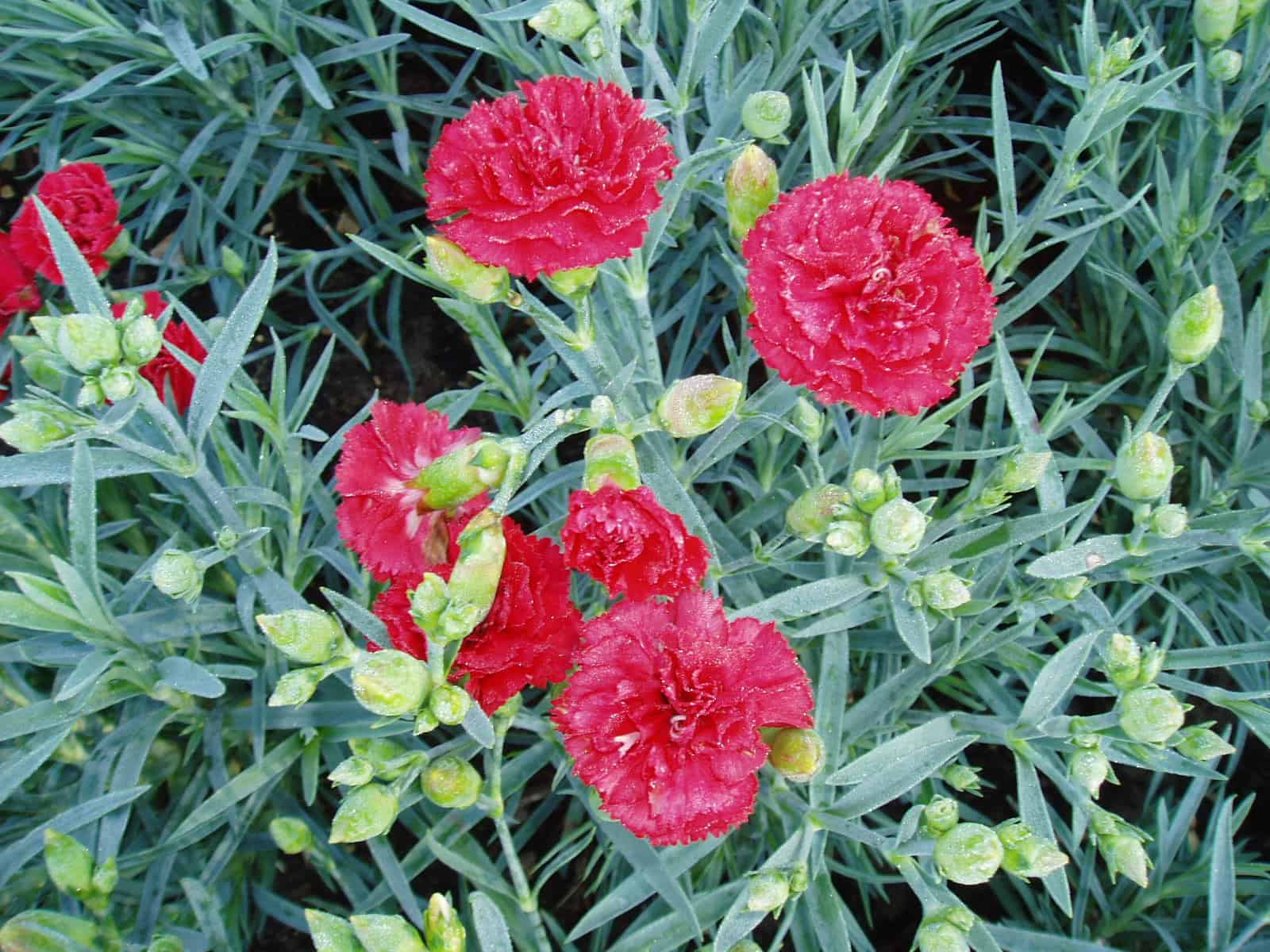 Carnation Flower Plant Carnation Can Can Scarlet F1 | All-america Selections