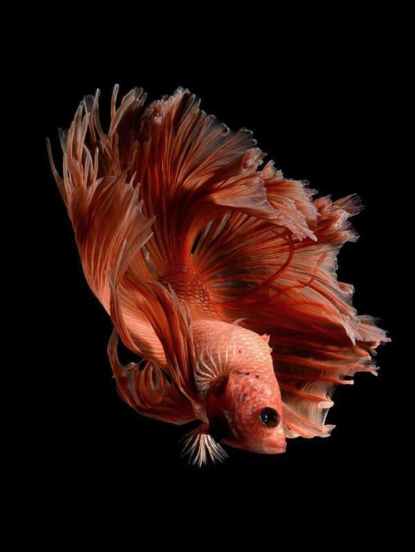 Iphone 7 Fish Wallpaper Hd This Betta Fish Photography Is Anything But Basic