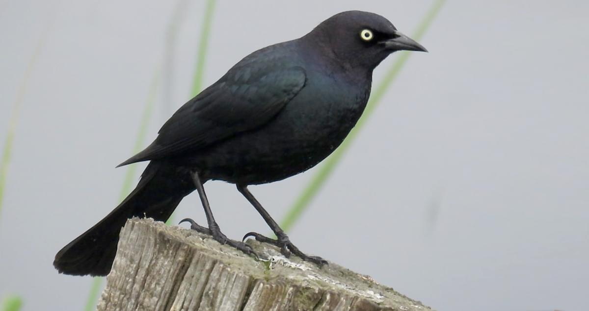 Vogel Schwarz Brewer's Blackbird Identification, All About Birds