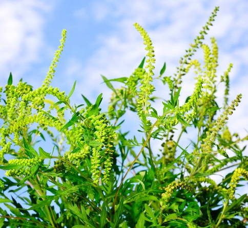 All About Ragweed Allergy Signs, Symptoms and Avoidance