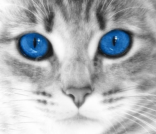Cute White Kittens With Blue Eyes Wallpaper Anatomie Amp Fysiologie Archives Alleskatten Nl