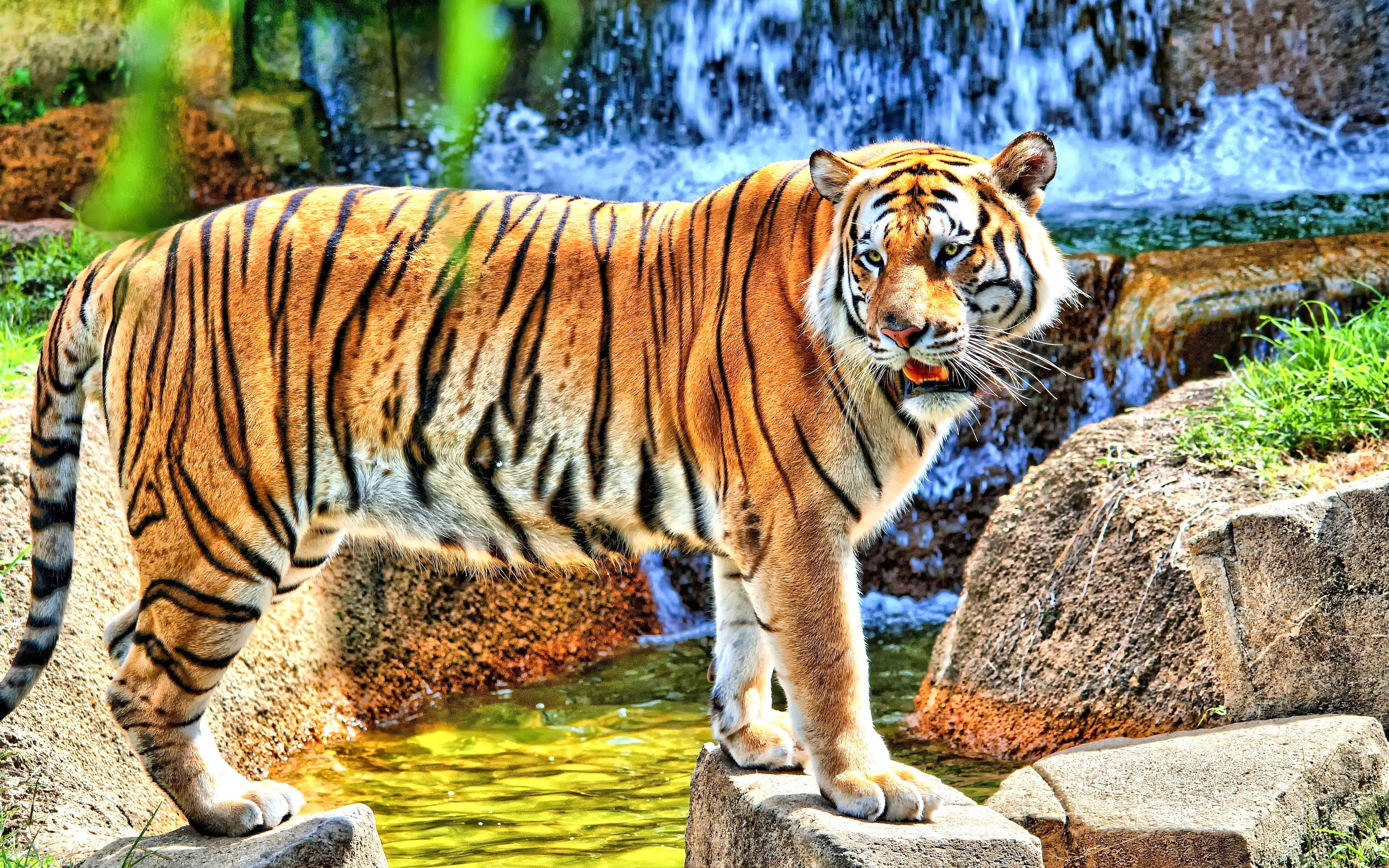 Cute Bengal Wallpapers Hd 1366x768 Tiger High Definiton Hd Desktop Backgrounds Amp Wallpapers