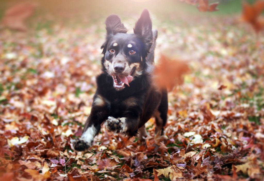 Free Full Screen Fall Wallpaper Australian Shepherd Dog Hd Wallpapers Desktop Backgrounds