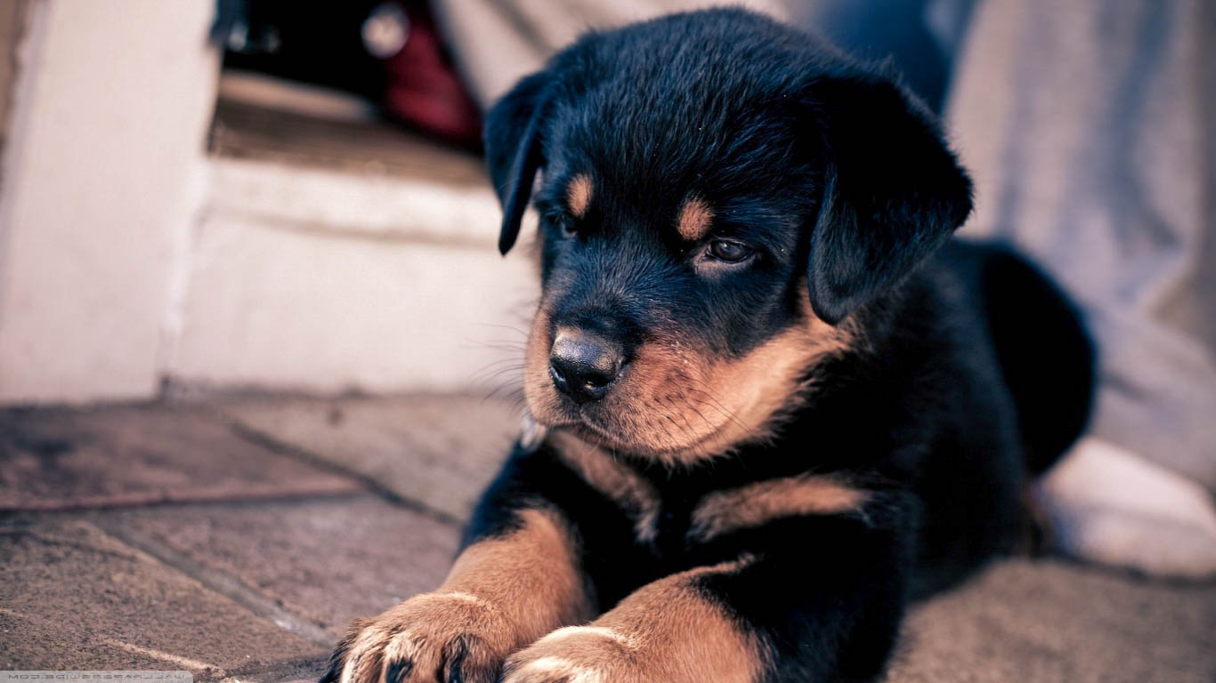 Cute Puppies Images Wallpapers Rottweiler Awesome Hd Wallpapers Backgrounds In High