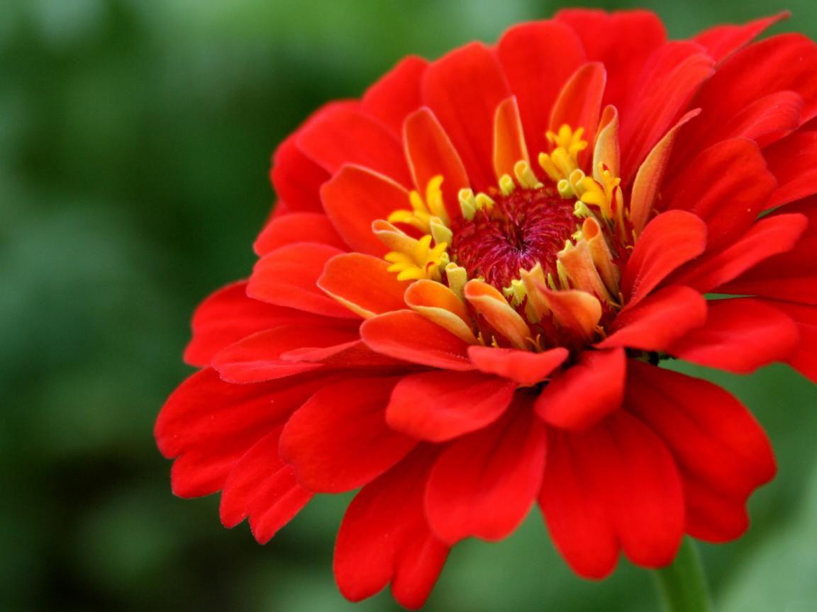 Cute Animated Wallpapers For Desktop High Resolution Picture Of Red Zinnia Flower Hd