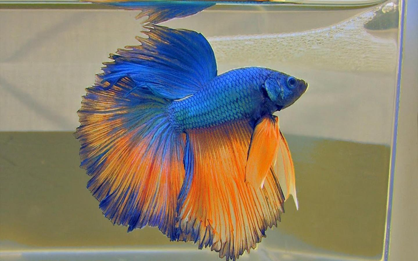 Iphone 5 Fish Wallpaper Blue And Orange Halfmoon Betta Fish Picture For Wallpaper