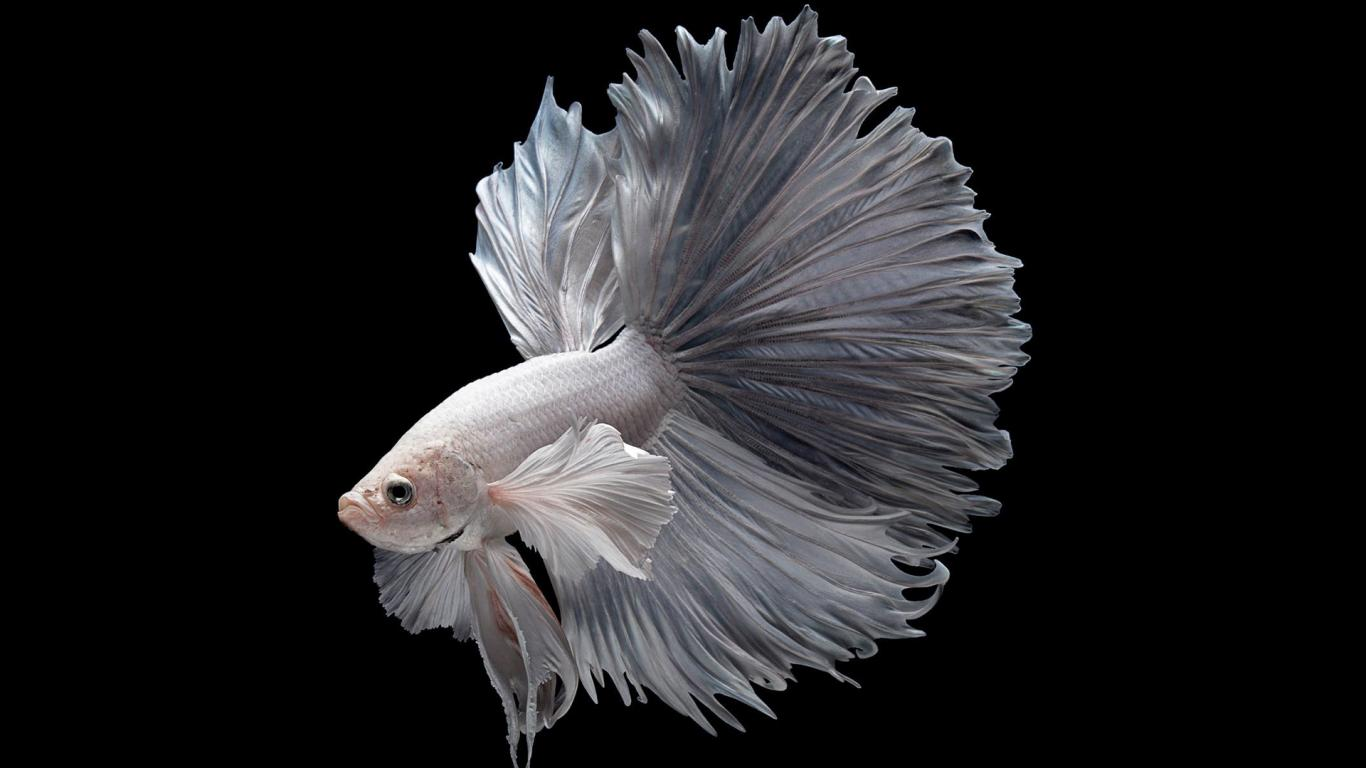 Iphone 6s Fish Wallpaper Download Albino Betta Fish Picture 2 Of 20 In Hd With 1920x1080