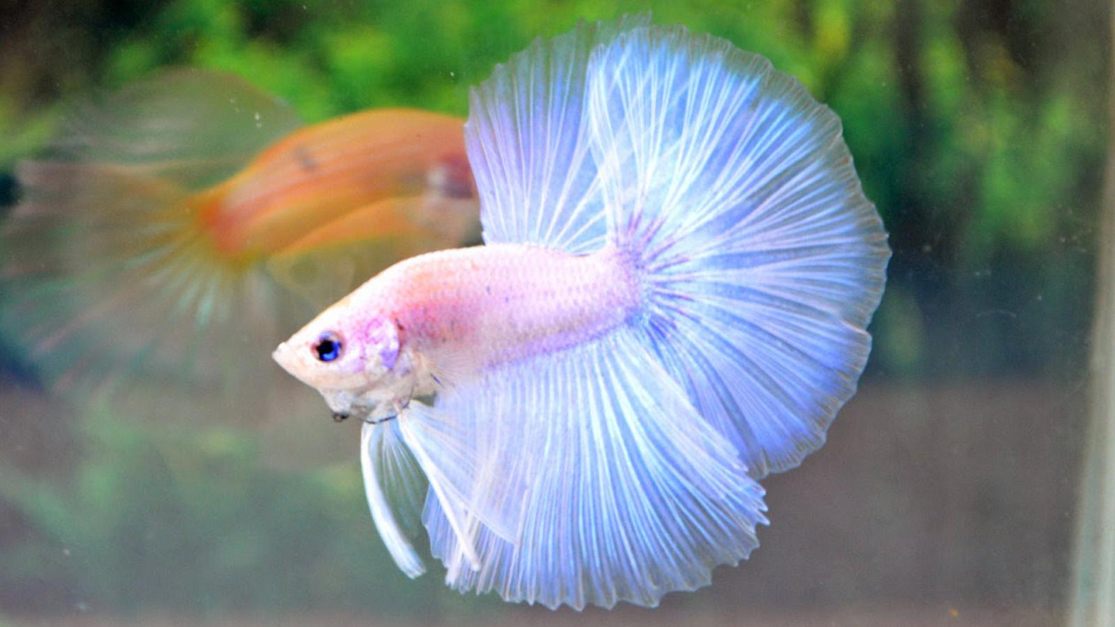 Pink Cute Wallpaper For Iphone 5 Albino Betta Fish Picture 3 Of 20 White Pastel Halfmoon