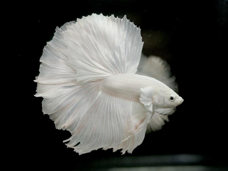 Iphone 7 Fish Wallpaper Hd Albino Betta Fish Picture 8 Of 20 Solid White Halfmoon