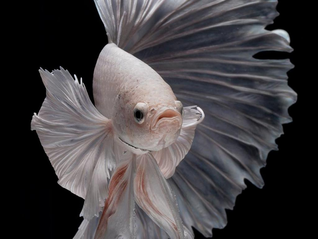 Baby Pink Iphone Wallpaper Free Wallpaper For Iphone 7 Plus With Albino Betta Fish