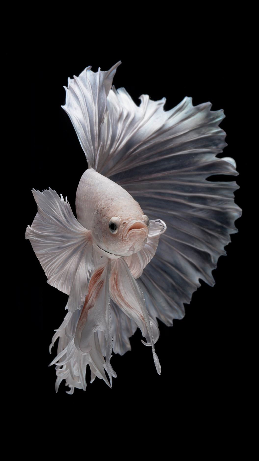 3d Koi Live Wallpaper Free Wallpaper For Iphone 7 Plus With Albino Betta Fish