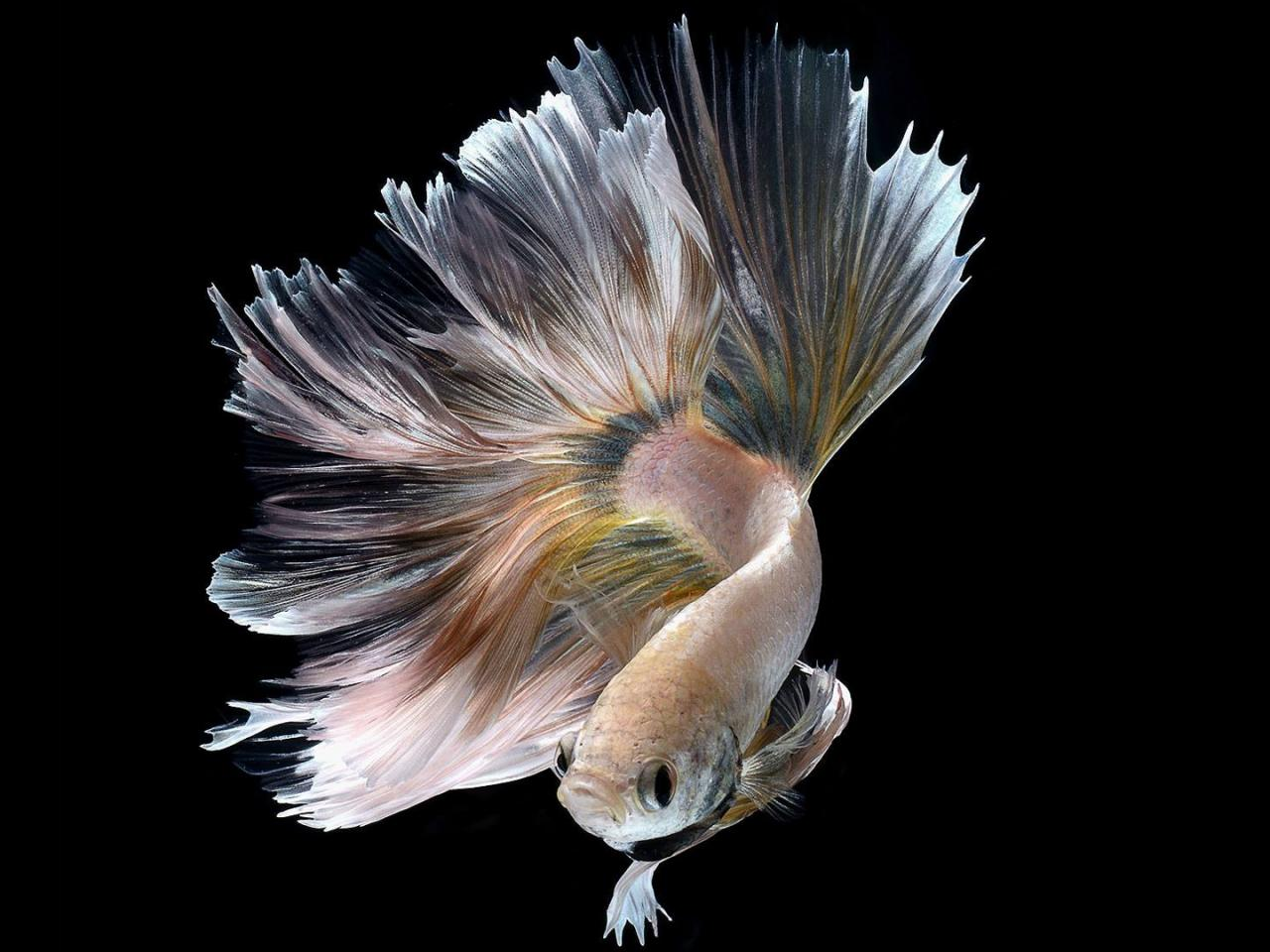 Cute Butterflies Hd Wallpapers Halfmoon Albino Betta Fish Picture 18 Of 20 Wallpapers