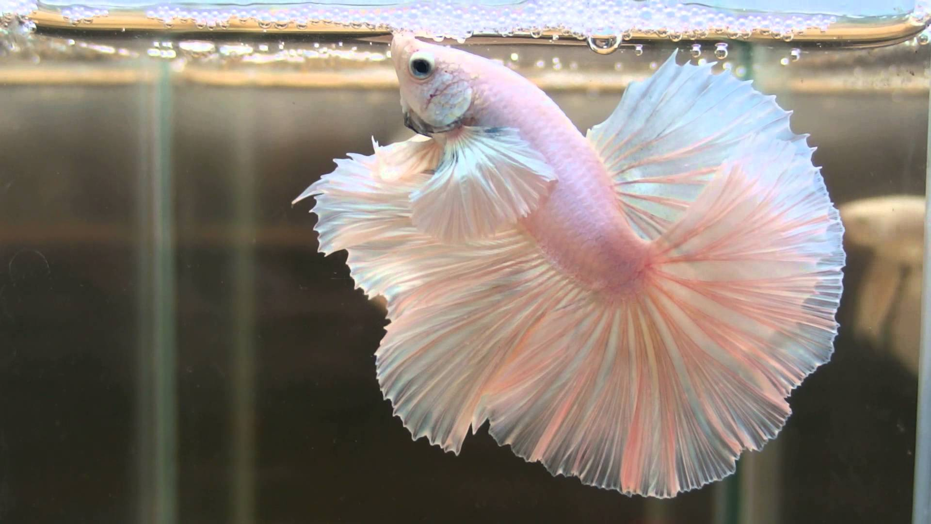 Cute Pinkish Wallpapers Pretty Betta Fish White Dumbo Rosetail Hd Wallpapers