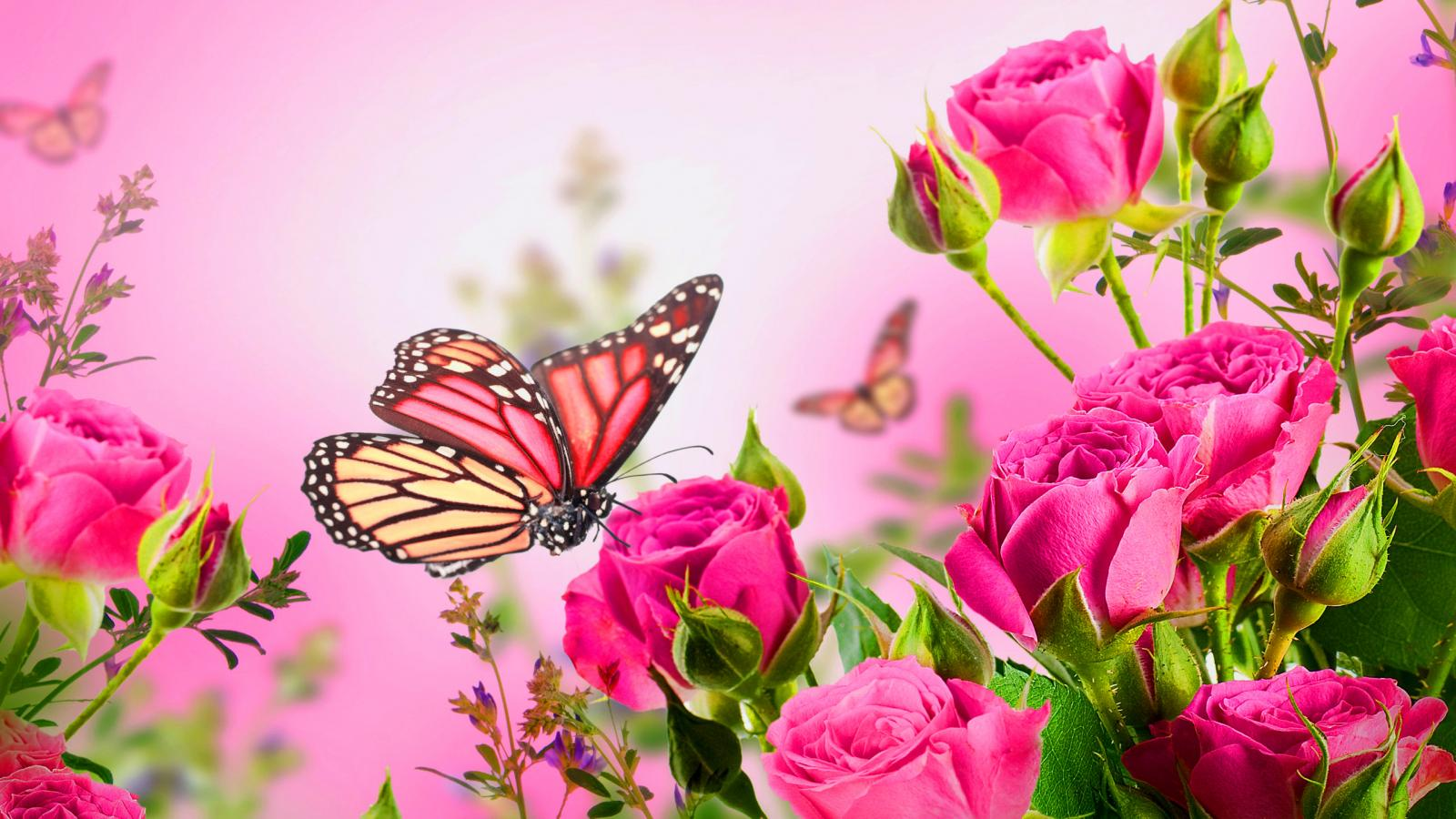 Hd Wallpapers Butterflies Widescreen High Resolution Pictures Of Rose Flowers And Butterfly For