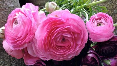 Flowers That Look Like Roses with Pink Ranunculus Flower - HD Wallpapers | Wallpapers Download ...
