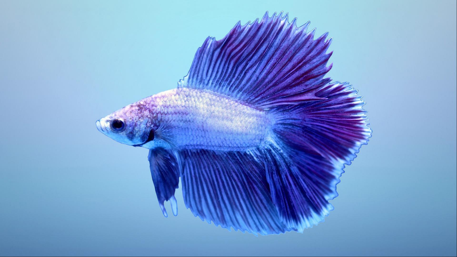 Fighter Fish Hd Wallpaper Download Halfmoon Betta Wallpaper 2 Of 7 Blue Double Tail