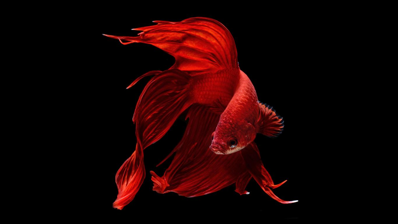 Fighter Fish Hd Wallpaper Download Halfmoon Betta Wallpaper 6 Of 7 Perfect Red Halfmoon