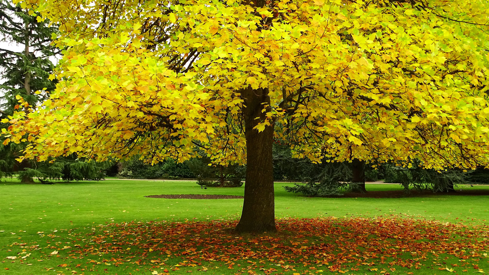 Autumn Love Hd Live Wallpaper Autumn Hd Wallpaper With Yellow Leaves Tree Hd