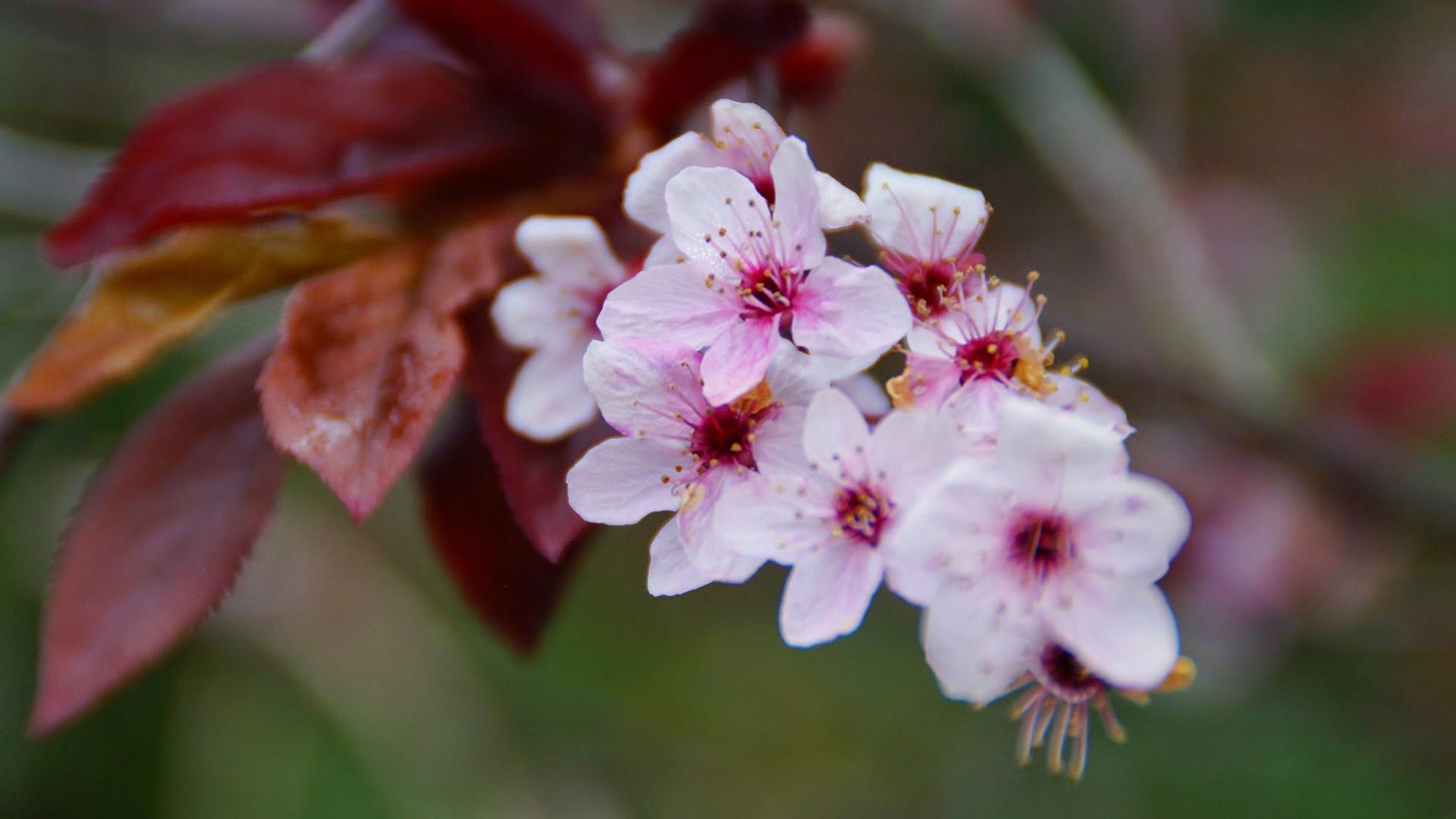 Falling Cherry Blossoms Wallpaper Cherry Blossom Hd Wallpaper Hd Wallpapers Wallpapers