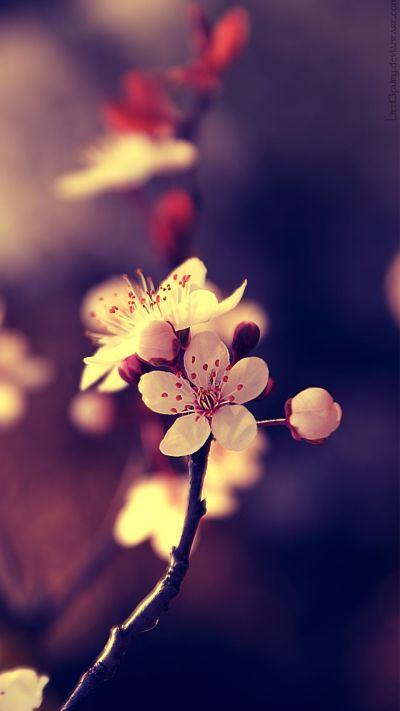 Close Up Photo of Cherry Blossoms for Smartphones Wallpaper - HD Wallpapers | Wallpapers ...