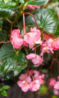 Noble Original Size At 2000 After Rain Dragonwing Begonia All Sparkled Up Dragon Wing Begonia Red Dragon Wing Begonia S