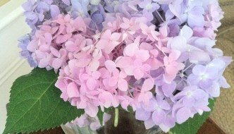 The Hydrangeas are Blooming, Do You Know What That Means?
