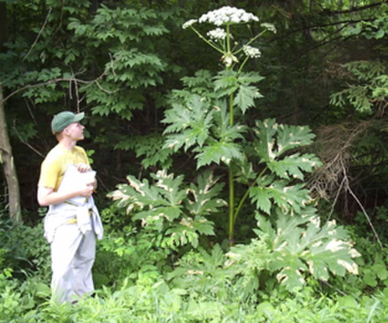 Giant Hog Weed Giant Hogweed: The Plant That Causes Blindness, Third