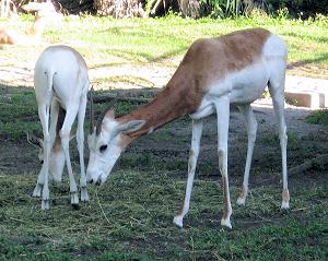 Dama Gazelle Eating
