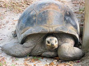 Giant Tortoises of Africa