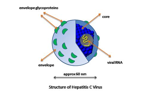 Hepatitis C virus (HCV)