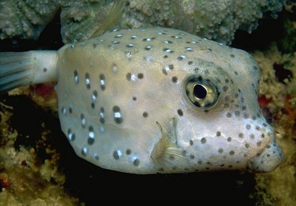 The Boxfish