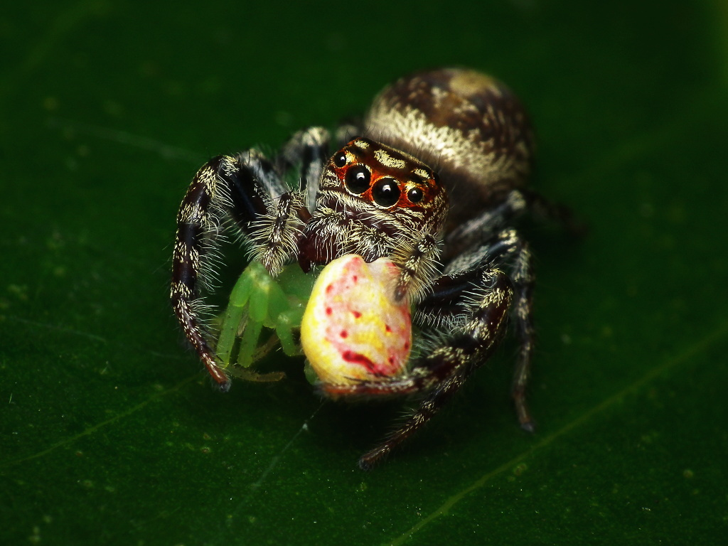 Cute Jumping Spider Wallpaper Ara 241 A Pavo Real All You Need Is Biology