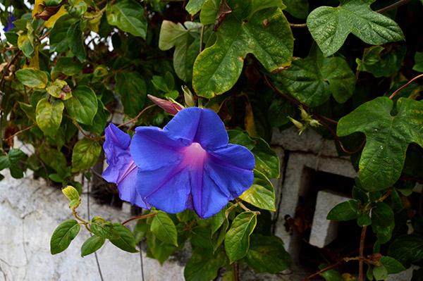 campanilla-azul