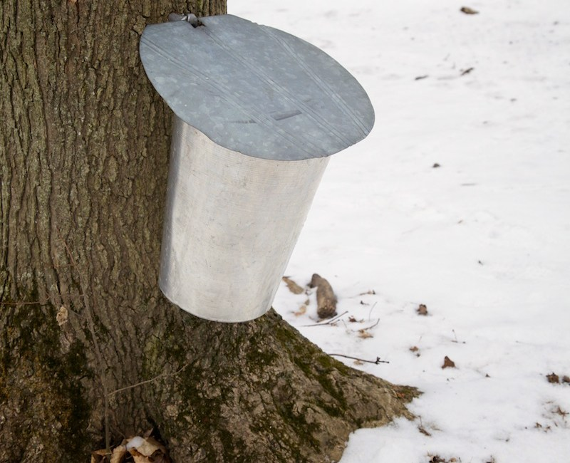 Maple sap collection bucket