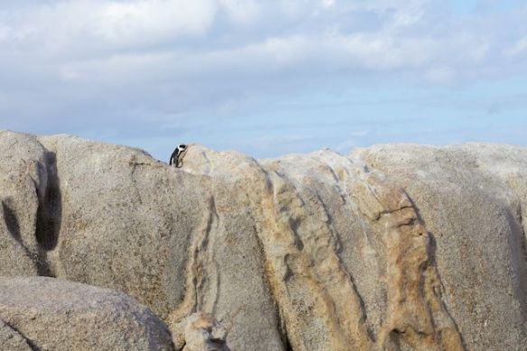 African penguin at Boulders Beach, Simon's Town, South Africa.  (c) Allyson Scott
