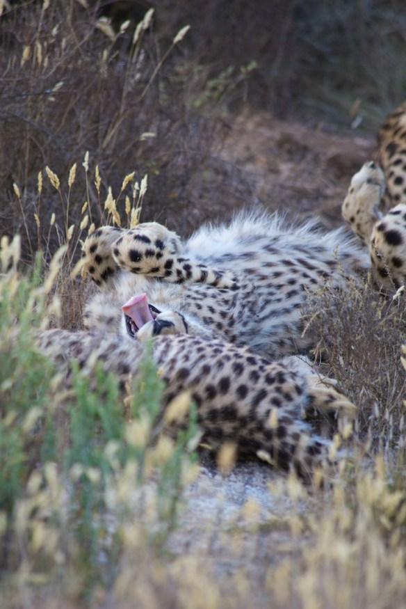 Juvenile cheetahs  (c) Allyson Scott