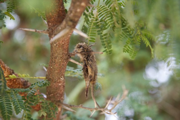 Mouse impaled on acacia thorn  (c) Allyson Scott