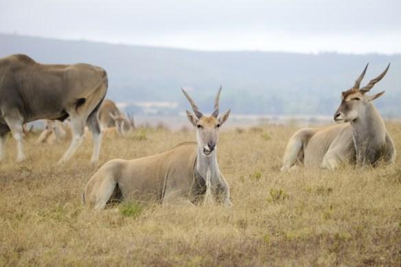 Elands relaxing on hillside