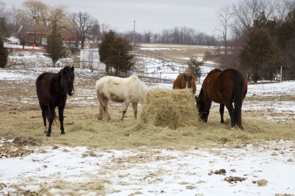 horses eating hay in winter