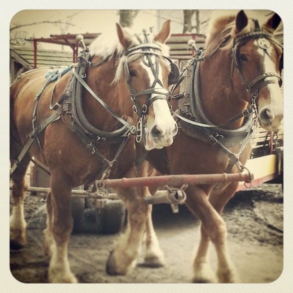 Two Belgian horses pulling cart