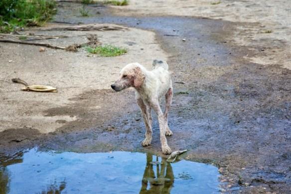 Stray dog with mange