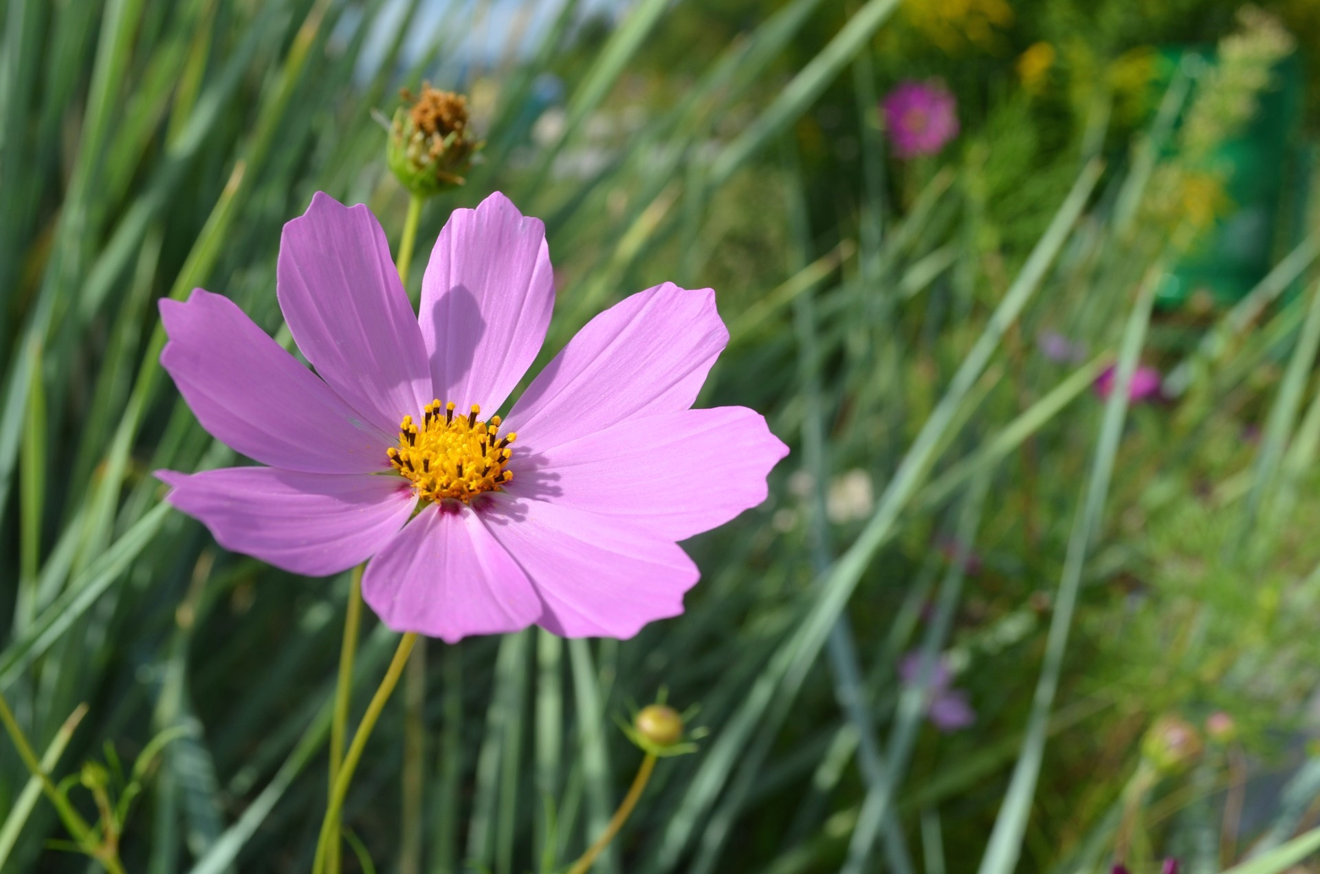 Pink Flowers Australia Cosmos How To Plant Grow And Care For Cosmos Flowers The Old